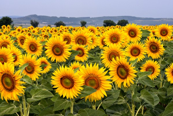 Product picture sunflowers